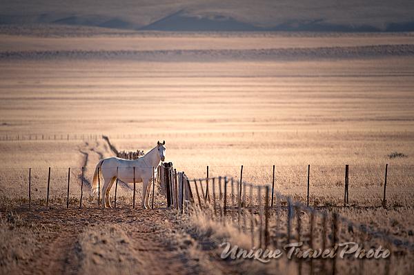 Domestic Horse, Namibia