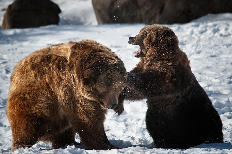 snapshot winter grizzly bears travel photography blog. Black Bedroom Furniture Sets. Home Design Ideas
