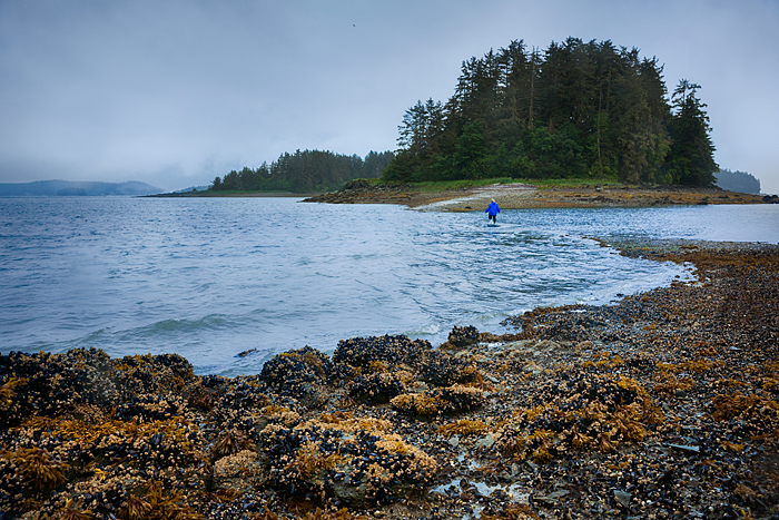 Woman walks in water during incoming tide between a tiny island and the mainland, Indian Cove, Juneua, Alaska, USA