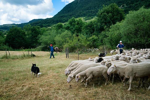 transumanza, Italy, sheep